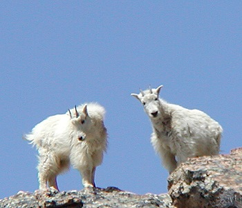 Mountain Goats in the Ruby Mountains