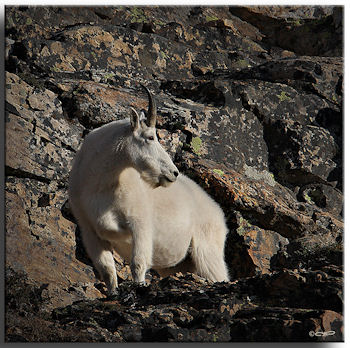 Mountain Goat in the Ruby Mountains. Photo taken by Wildlife Photogragher Tim Torell.