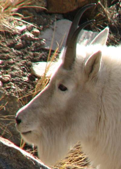 Mountain Goat in the Ruby Mountains