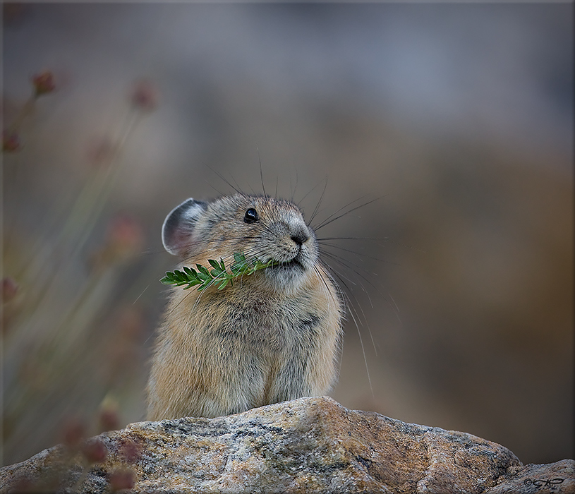 Pika in the Ruby Mountains