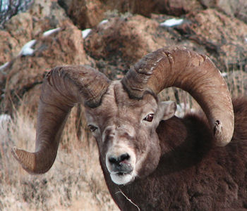Rockey Mountain Bighorn Ram in the Ruby Mountains