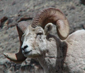 Casper the Bighorn Sheep in the Ruby's