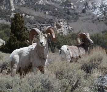 Casper and Ballistic Tip Bighorn Sheep in the Ruby Mountains