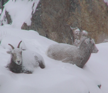 Rocky Mountain Bighorn Sheep ewes in the Ruby Mountains