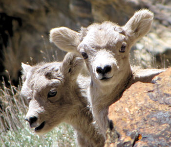 Rockey Mountain Bighorn Lambs in the Ruby Mountains