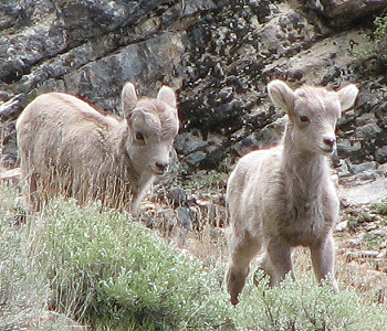Rocky Mountain Bighorn lambs in the Ruby Mountains