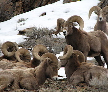 Rocky Mountain Bighorn Rams in the Ruby Mountains