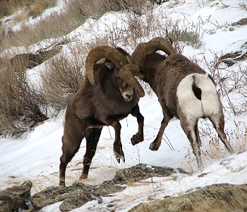 Rocky Mountain Bighorn Sheep fighting in the Ruby Mountains