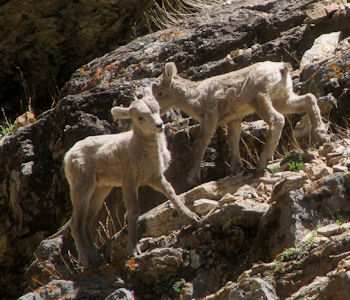 Rockey Mountain Bighorn lambs in the Ruby Mountains 2012