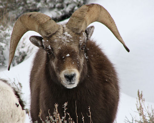 Rockey Mountain Bighorn Ram in the Ruby Mountains 2010