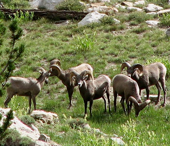 Rocky Mountain Bighorn Sheep from the Ruby Mountains