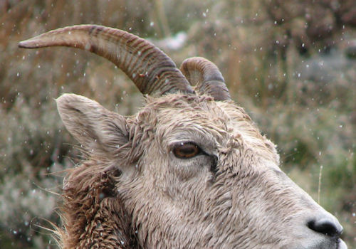 how to age bighorn ewes