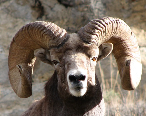 Rocky Mountain Bighorn Sheep track in the Ruby Mountains