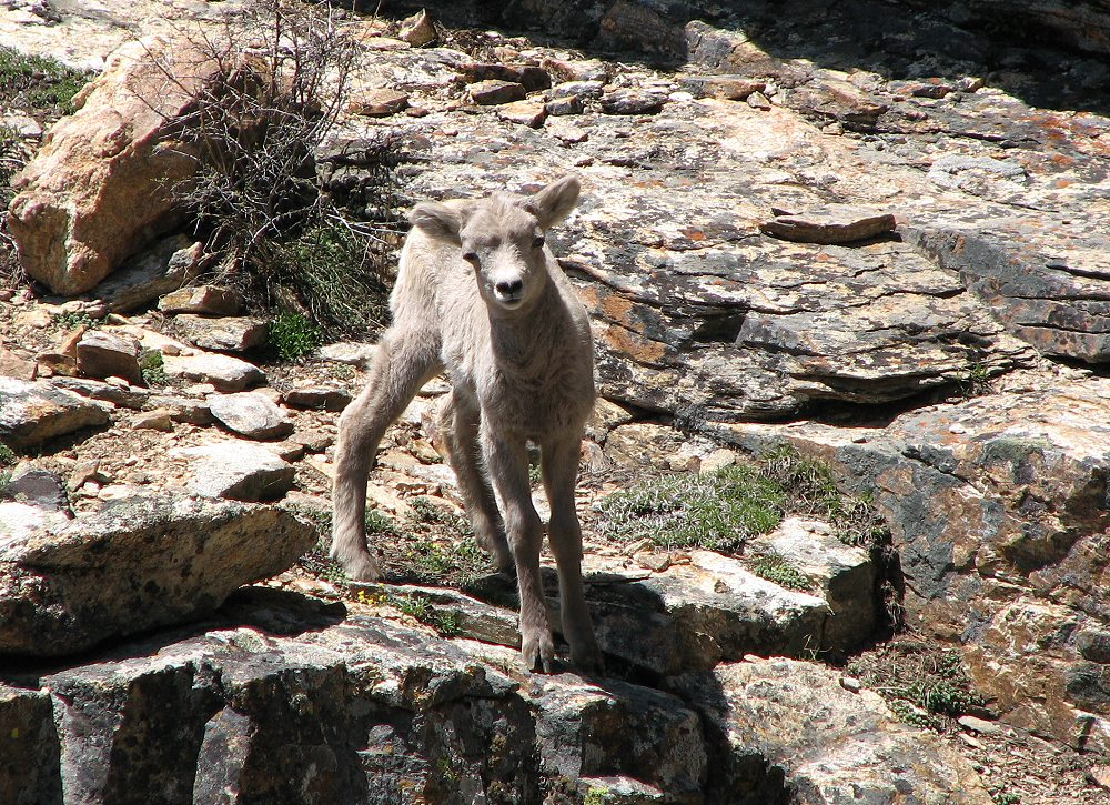 Rocky Mountain Bighorn Lamb in the Ruby Mountains