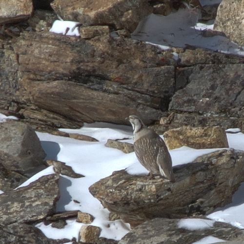 Himalayan Snowcock in the Ruby Mountains