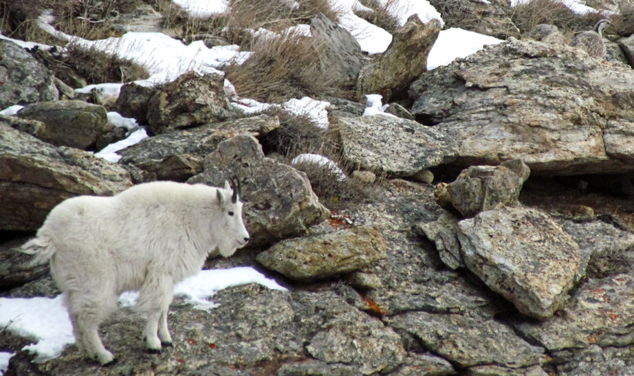 Himalayan Snowcock and mountain goat in the Ruby Mountains